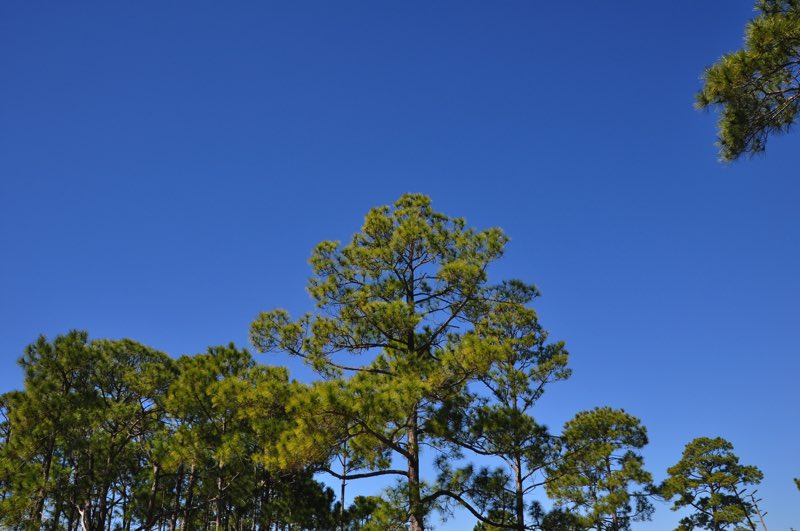 One of the things I'll miss the most from Florida…the tall pines everywhere I turn